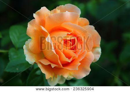 Big orange rose on blured background. Large orange rose on the bushes. Bright orange rose macro. Tea-rose in the garden with bokeh. Caring for garden roses. Roses for calendar