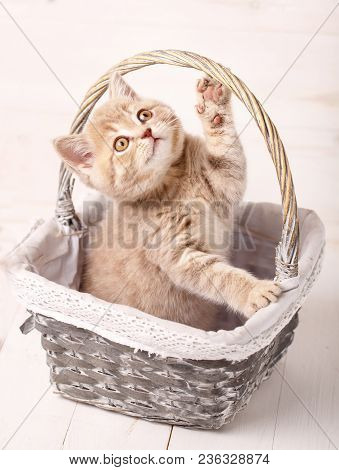 A Playful Kitten. Red Scottish Kitten Is Played While Sitting In A Basket. Thoroughbred Cat. Pet