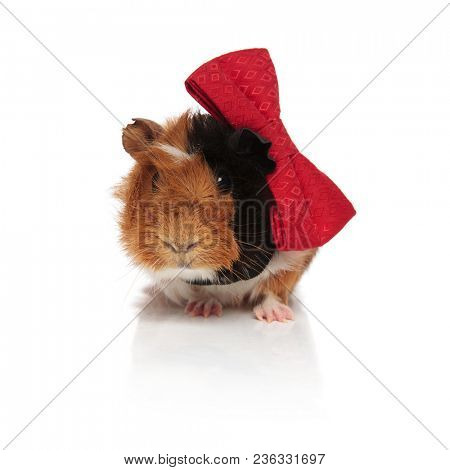 classy black and brown guinea pig wearing a red bowtie while sitting on white background