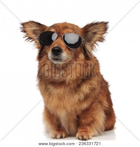 adorable seated brown metis dog with funny ears and sunglasses looks to side on white background