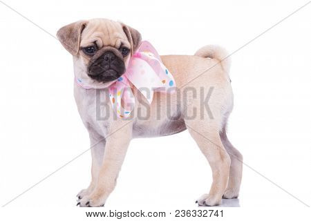 side view of adorable pug with colorful ribbon around neck looking to side while standing on white background