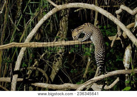 Very rare ocelot in the night of brazilian jungle, endangered and nocturnal species, leopardus parda