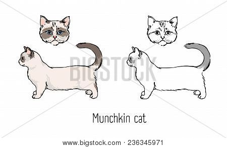 Bundle Of Colorful And Monochrome Outline Drawings Of Head And Body Of Munchkin Cat Isolated On Whit
