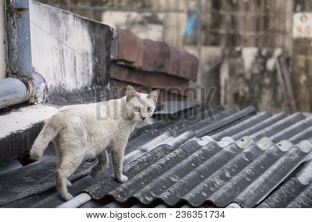 White House Cat Is Walking On The Roof Top Of The House And Looking Back For Something