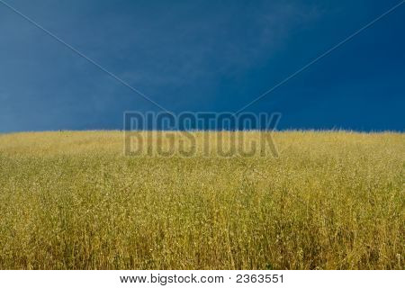 Ripe Oat Crops Under Blue Sky