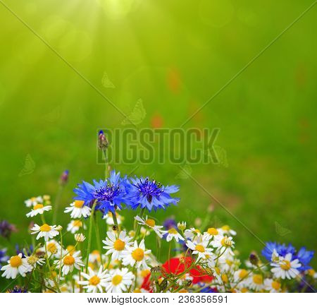 Wild Flowers Bouquet With Daisies And Cornflowers. Wild Flowers Isolated On Green Background.