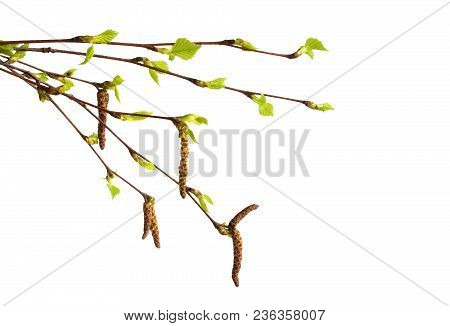 Birch Branch With Catkins And Fresh Green Leaves At Early Springtime Isolated On White Background