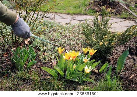 Gardener Loosens Soil Around Blooming Yellow Tulips With Help Of Ripper Tool. Spring Care For Flower