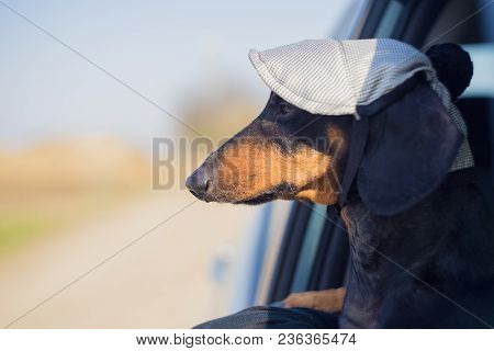 Serious Dog Of The Breed Of Dachshund, Black And Tan, Dressed In A Cap Looks Out Looking Out Of Car