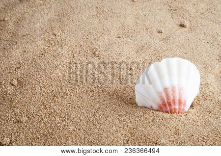 White And Pink Seashell Embedded Upright Iin Golden Beach Sand.