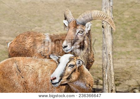 A Pair Of Adult Wild Moufflons In The Pasture