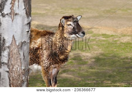 Young Lamb Of The Moufflon Walks In The Zoo
