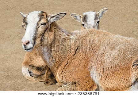 Adult Wild Female Mouflon With Her Lamb.