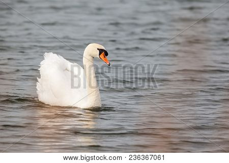 On The Water A Mute Swan Gracefully Roams Around