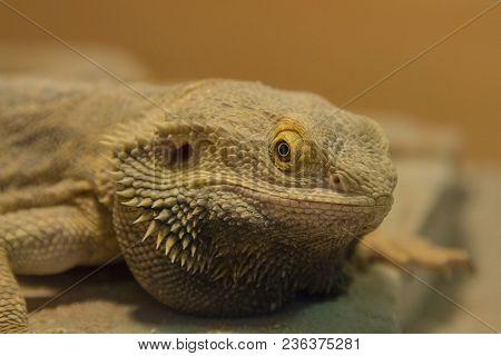 Close-up Photo Portrait Of A Bearded Dragon Lizard