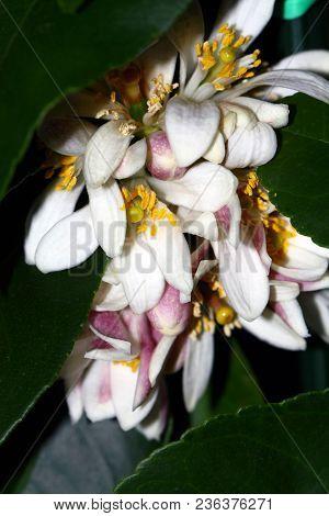 Detail Of A Lemon Blossom During Flowering.
