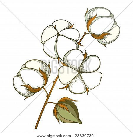 Vector Stem With Outline Cotton Boll With Leaf And Capsule In White And Brown Isolated On White Back
