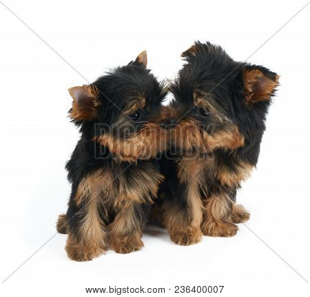 Cute Puppy Sniffs Nose Of Another Puppy. Both Are Puppies Of The Yorkshire Terrier. Isolated On Whit