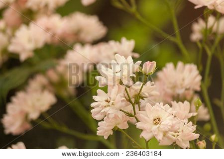Bush Of Light Pink Climbing Roses. Delicate Floral Light Pink Background. Branch Of Curly Rose.