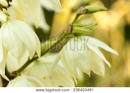 Background Of White Hesperoyucca Whipplei Flowers. Yucca Gigantea, Chaparral Yucca, Itabo, Yucca Fil