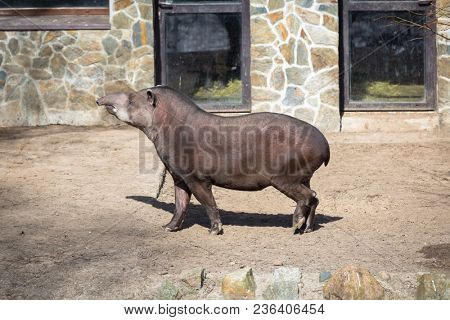 The South American tapir outdoor