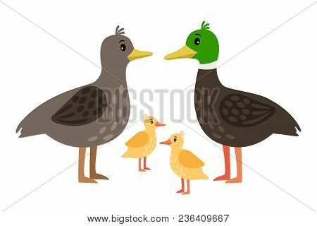 Duck Family. Vector Mother Duck, Drake And Little Ducklings Isolated On White Background