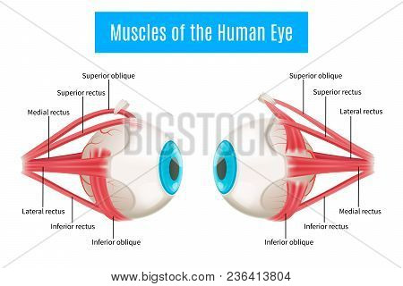 Eye Anatomy 3d Diagram Infographics Layout Showing Human Eyes Muscles In Side View With Labeling Vec