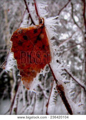 Red Frozen Birch Tree Branch Under Hoarfrost