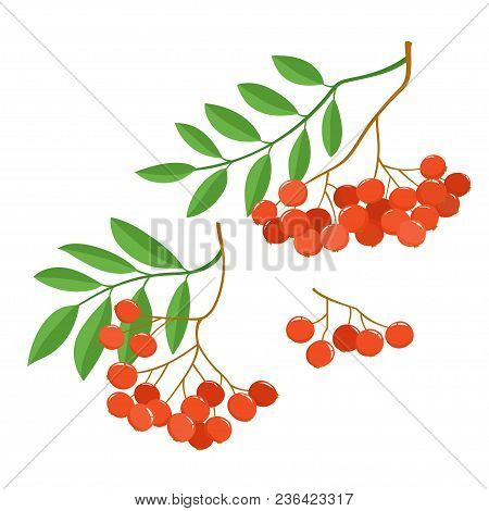 Branch Of Ashberries Isolated On White. Set Of Color Mountain Ashes. Bright Berries Branches.