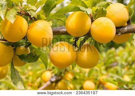 Close-up Of Plum Tree With Ripe Yellow Plums