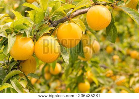 Close-up Of Ripe Yellow Plums On Plum Tree With Blurred Background