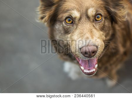 Close-up Portrait Of Beautiful Brown Smiling Dog Outside In Yard On Gray Asphalt Surface.
