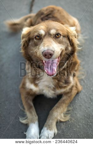 Close-up Portrait Of Beautiful Happy Brown Smiling Dog Outside In Yard On Gray Asphalt Surface.