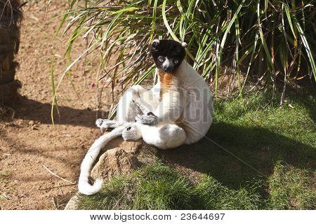 Lemur Sitting In The Sun
