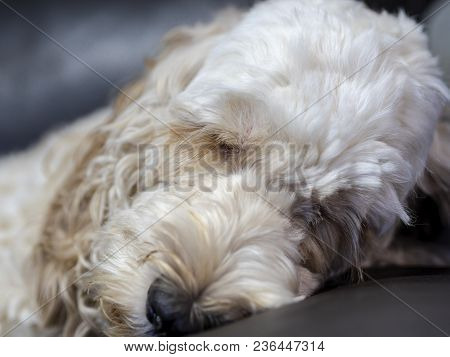 Portrait of a fluffy spoodle or cockapoo dog in closeup view having a peaceful snooze. The popular breed is a mix between cocker spaniel and poodle. poster