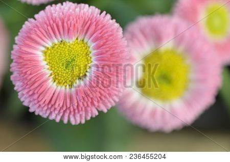 A Rosy Pink Flower With A Yellow Center