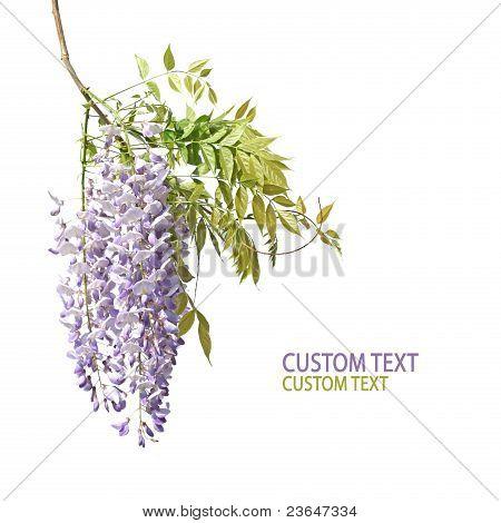 Wisetria Branch