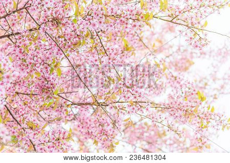 Pink Blossoms On The Branch With Blue Sky During Spring Blooming. Branch With Pink Sakura Blossoms A