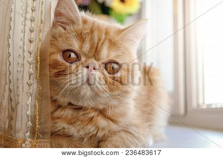Portrait Of A Thoroughbred Young Cat Of A Red Color At A Window. The Cat Is Five Months Old From A S