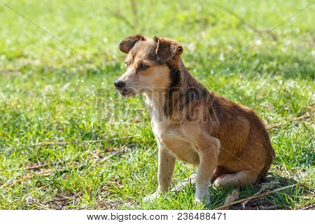 Homeless Dog. A Homeless Cute Brown Dog Walks In Nature. A Dog R