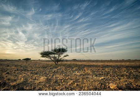 Acacia tree on a stark landscape against blue sky. Tree and desert landscape from Gulf and African region.