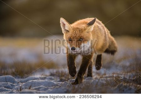 Fox In Green Forest. Cute Red Fox, Vulpes Vulpes, At Forest With Flowers, Moss Stone. Wildlife Scene