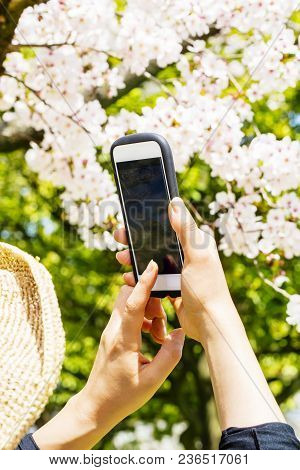 Rear View Of A Woman Using Her Mobile Phone Or Smartphone To Capture Images Of The Cherry Blossoms T