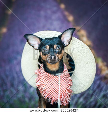 Dof A Farmer, An American, A Cowboy. Portrait Of A Dog In A Scarf And Hat As A Farmer, Against A Bac