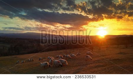 Pasture Sunset And Sheep Herd In Romanian Countryside