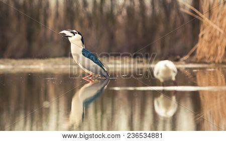 beautiful black-crowned night heron fishing on a lake