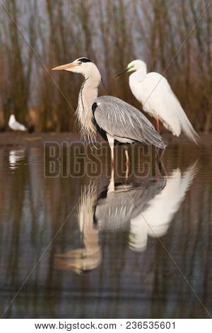beautiful grey heron fishing on a lake - wildlife in its natural habitat