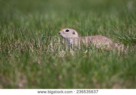 cute ground squirrel portrait