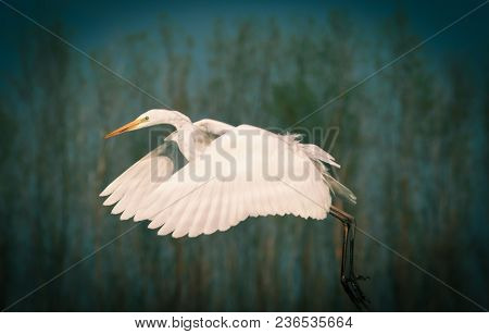 beautiful great white egret fishing on a lake - wildlife in its natural habitat