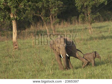Male elephant kicking playful young elephant. Corbett National Park Utteranchal India poster